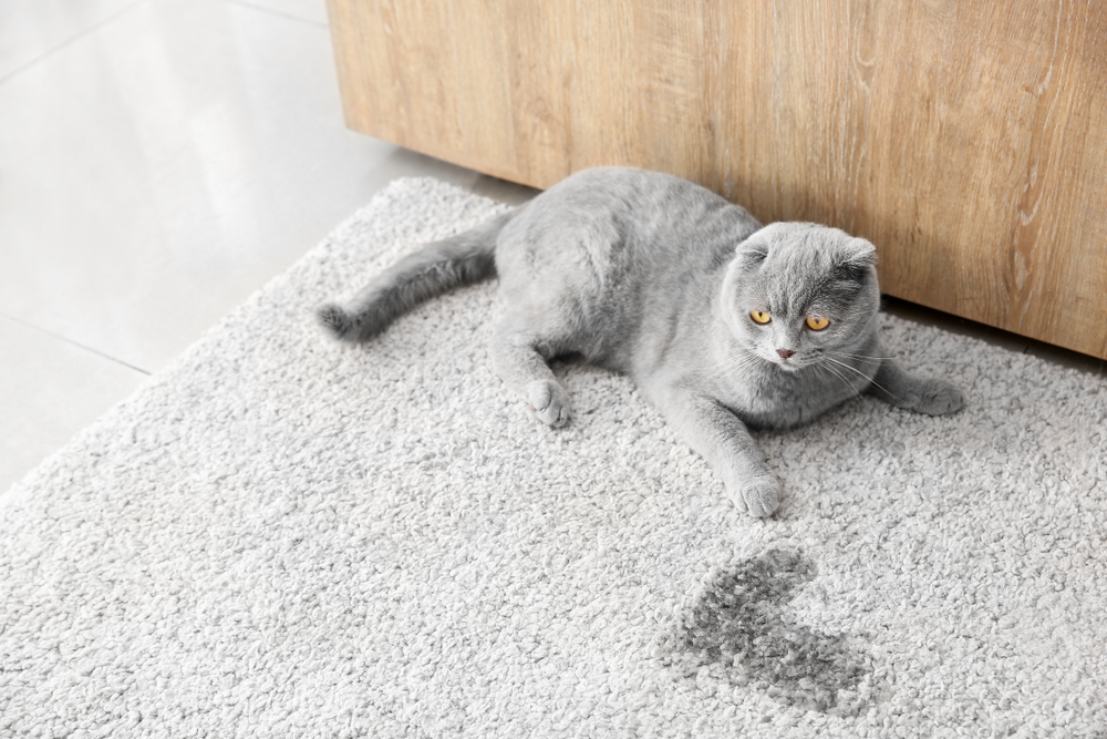 Puddle Problems: 5 Reasons Why Your Cat May Be Peeing Outside the Litter Box